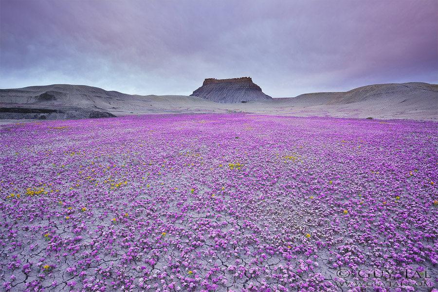 یک پدیده نادر گل در یوتا