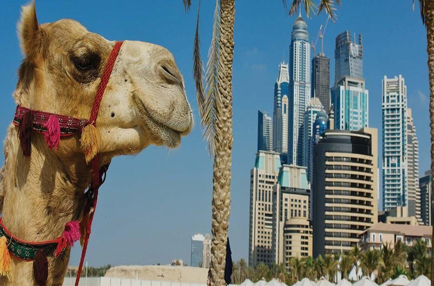 فیلم، مسابقات پرش از روی شتر در امارات، لگد شتر به قهرمان!