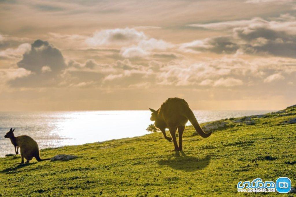 جزیره کانگورو در استرالیا؛ جاذبه ای هیجان انگیز و تماشایی