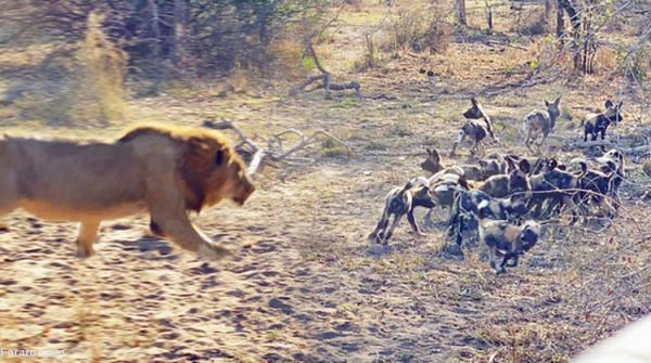 (ویدئو) حمله شیر نر به توله سگ های وحشی